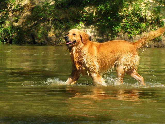 Cyanobactéries eau chien